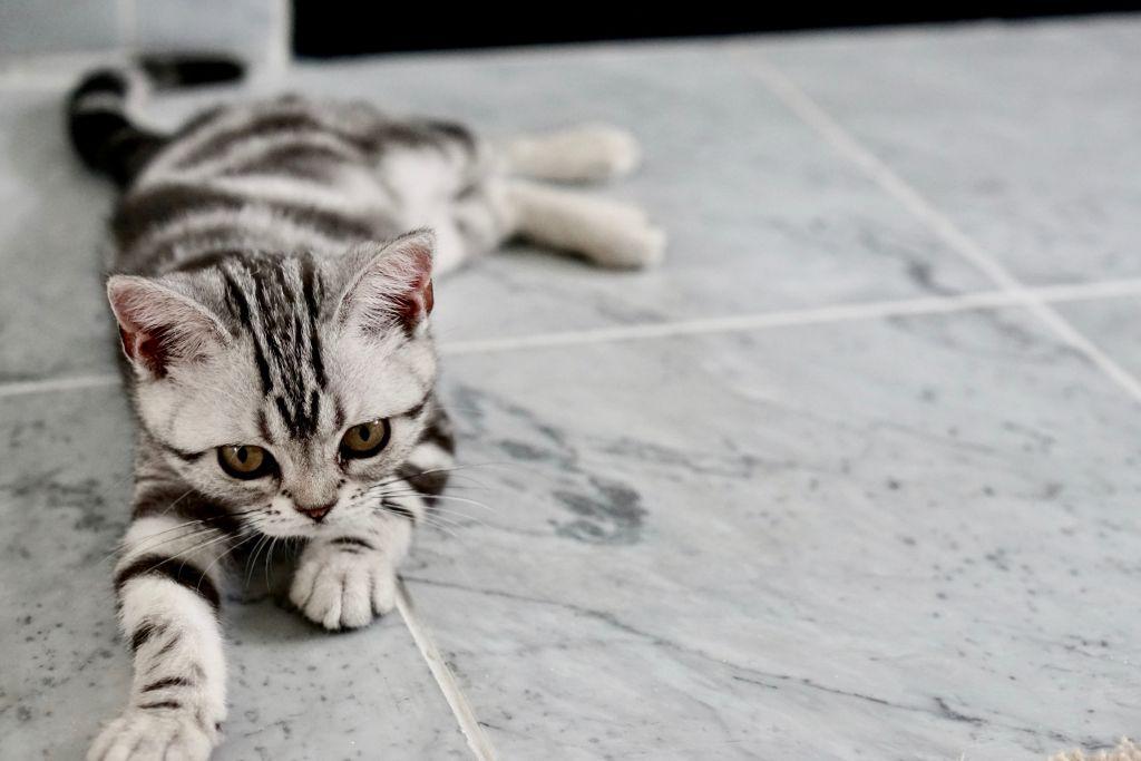chat gris blanc