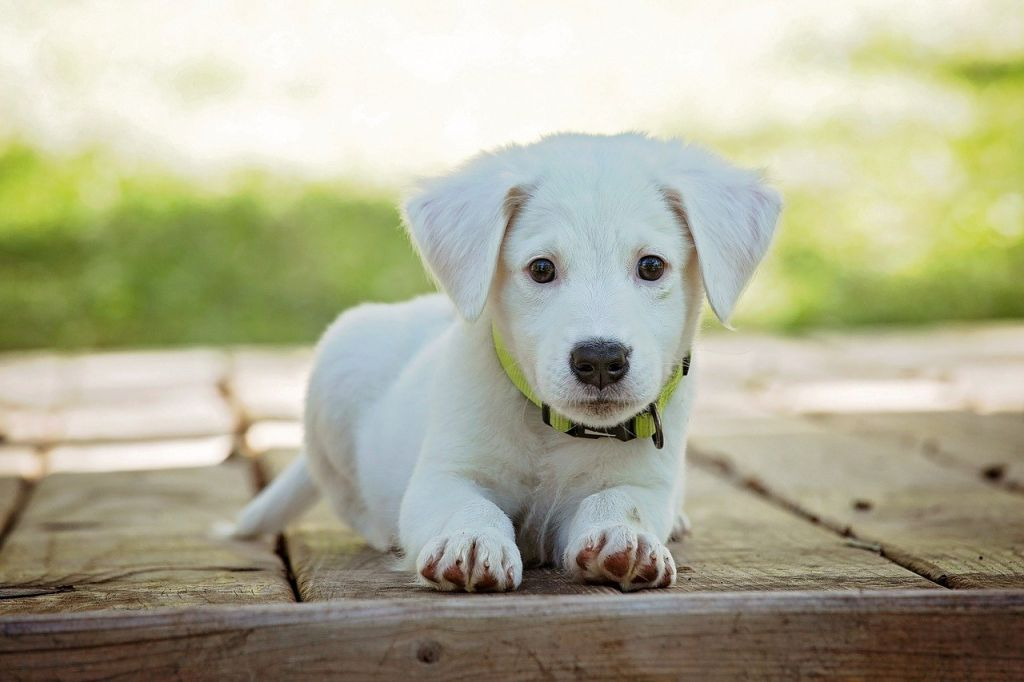 chiot blanc
