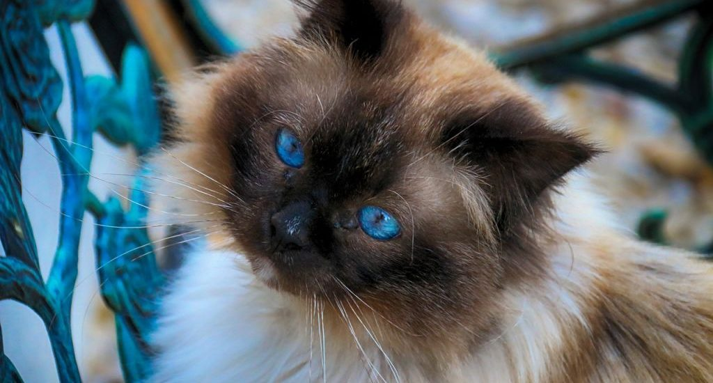 sacre de birmanie chat